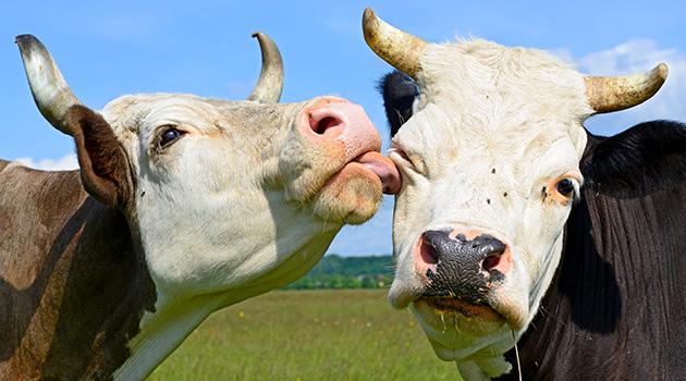 Tutto ciò che avreste sempre voluto sapere sulle mucche